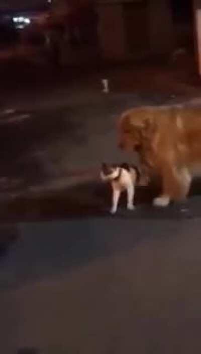 This dog doesn't let a fight break out between two cats.