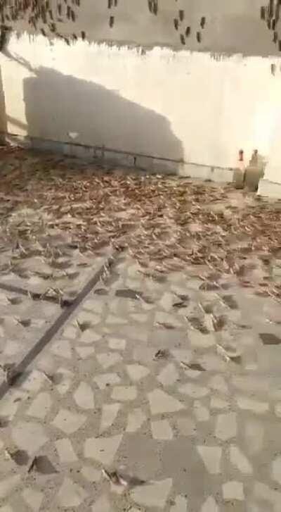 Locust attack in Jaipur