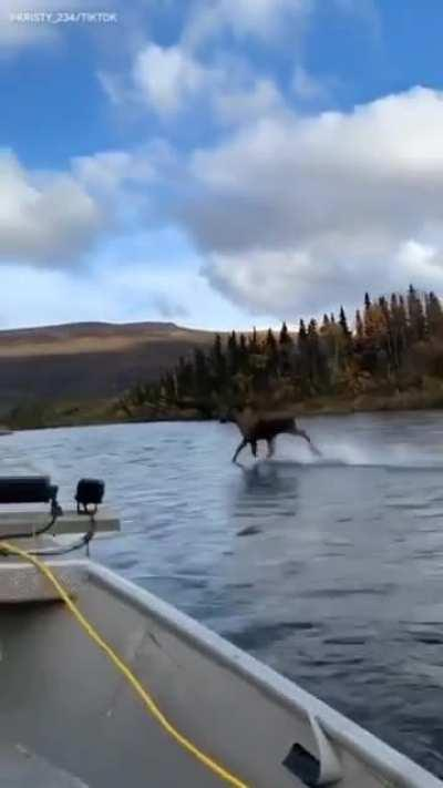 This moose running on... water