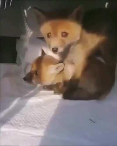 Just some cute foxes, nothing to see here