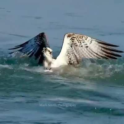 Osprey dives for a fish