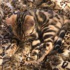 Our Bengal kitten loves leopard print, naturally