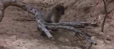 Animals get drunk off of Marula Fruit