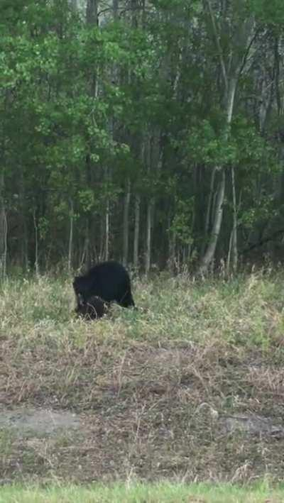 Beaver picks a fight with a black bear