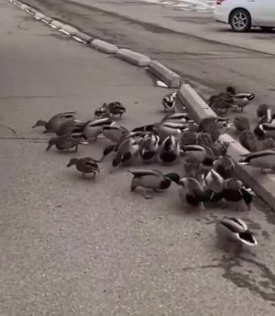 Some cute ducks eating bread (and a lynx for legal reason)