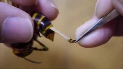 Exacting cruel revenge on a wasp by slowly inserting a massive parasite!