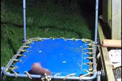 Just a stoat on a trampoline