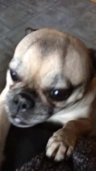 This is Paula the Pug. She wants cookies on my cake day.