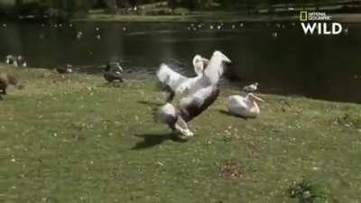 Pelicans gotta eat too