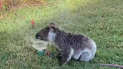 You know it's hot when a Koala comes to play in the sprinkler. Dalby