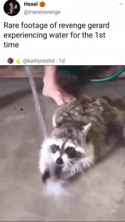 Three Cheers for Sweet Raccoon