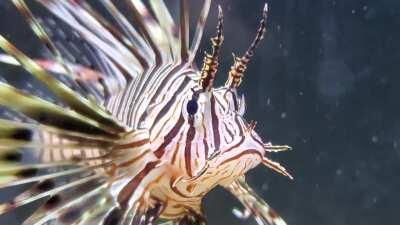 Everyone meet Lionel, my lionfish!