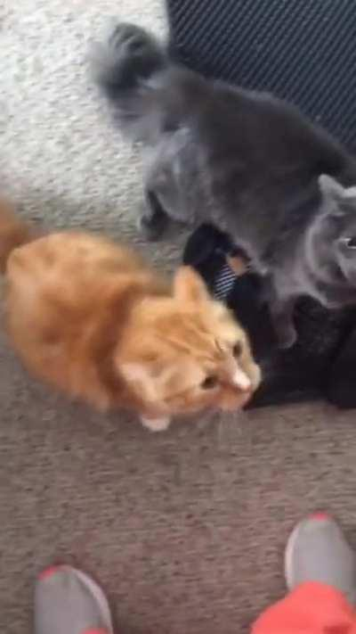 Cats upsetto after finding out mom cheated with the neighbor cat