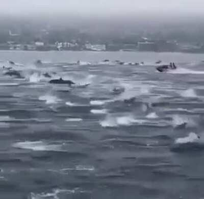 Dolphin 'mega-pod' looks like a stampede of horses....