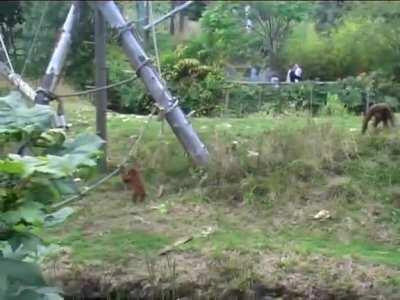 Mama Orangutan is having a rough day, as her baby throws a tantrum and refuses to leave the playground