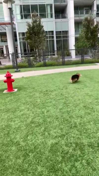 My corgi celebrating dog park reopening after weeks of lockdown