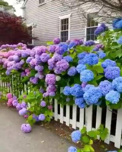 The range of colors of these Hydrangea flowers