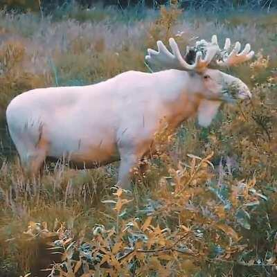 🔥 Rare footage of the stunning white moose.