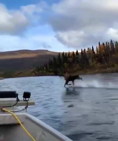 Moose running across the river
