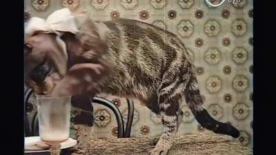 Cute kitty cat from the year 1906, in restored HD and colorized!