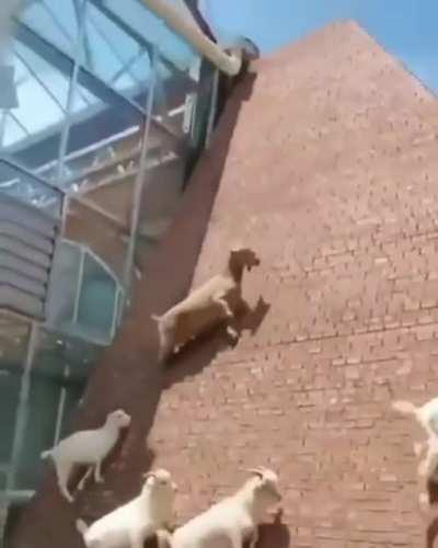 Goats walking up a super steep wall