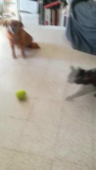 Tennis ball × Cat