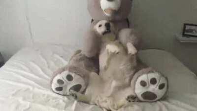 Teddy Bear trust fall!! (Re-upload)