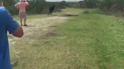A wild horse stomping the hell out of an alligator