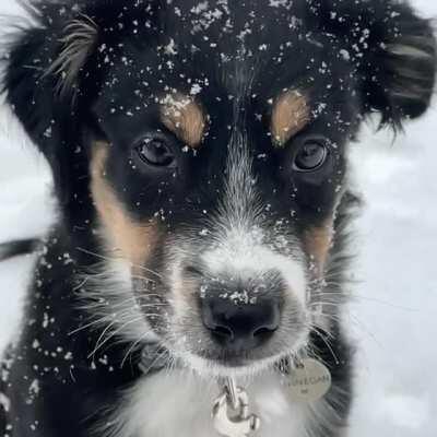 Finnegan the Mini Aussie in the snow