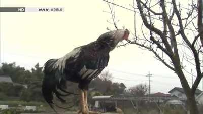 Mods are recharging their batteries. Check out real Low Battery Rooster.