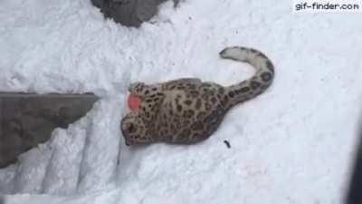 This is why snow leopards are endangered