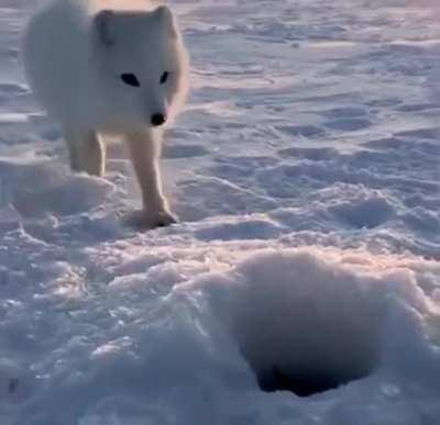 A dauntless white fox trying to steal fish from a Russian fisherman