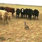 Overleved goose