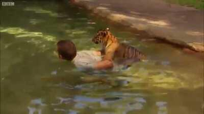 Baby tiger afraid of first swim. His human friend helps him.