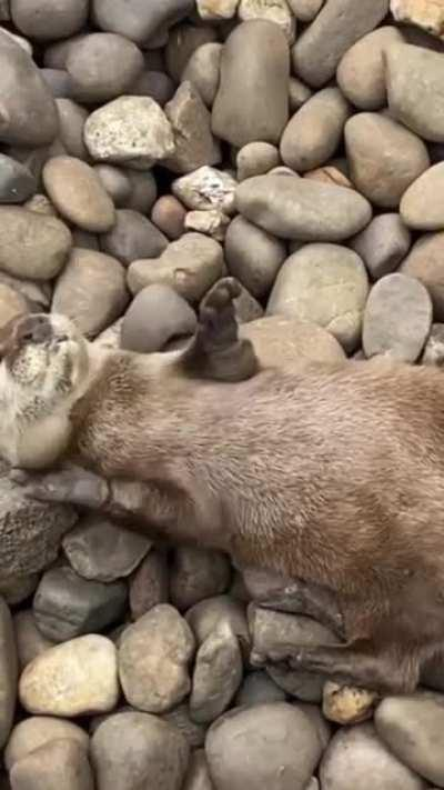 Otter playing with a stone