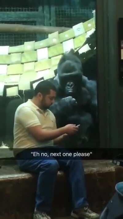 Dude was showing the gorilla pictures of female gorillas and he for real is like