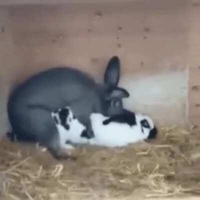 RaBbIt DiEs AfTeR tHe FiNaL aTtEmPt To PrOdUcE hIs OfFsPrInG