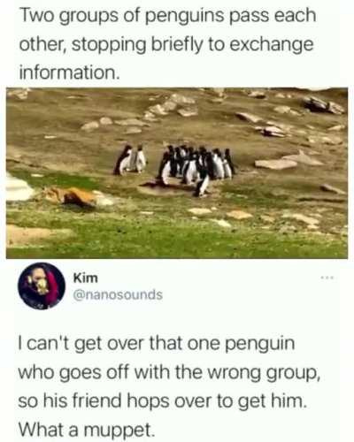 Penguins exchange information and run after member