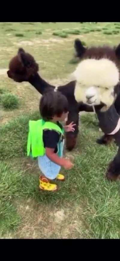 Kid meets baby alpaca