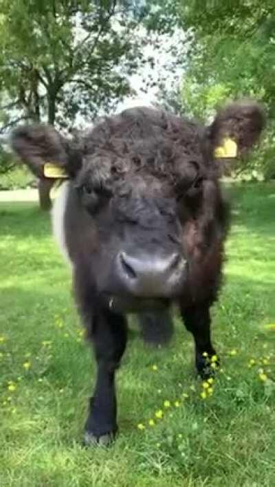 How cute is this fluffer?😍🌱🐃