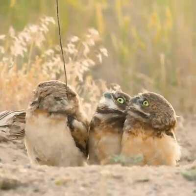 🔥 Owls checking out the stick which their friend got from somewhere