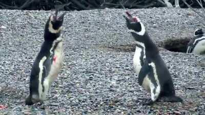 A fight breaks out when a husband comes home and finds his wife with another penguin.