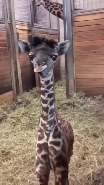 baby giraffe showing his tongue