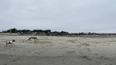 A Greyhound has entered the beach