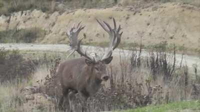Red stag roaring