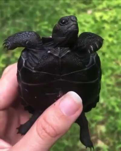 Black turtle for the first time.