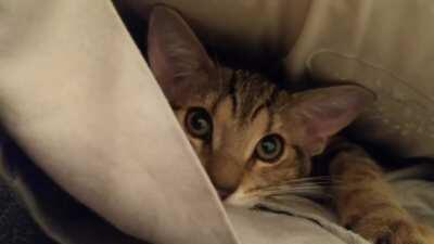 Kitty tucked himself into a pillowcase
