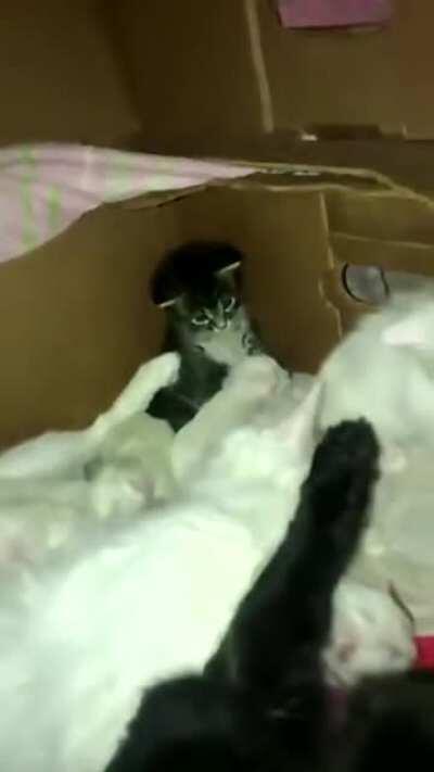 This kitten petting another smaller kitten will melt your heart 🥰😭