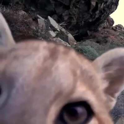 Young puma checking out a trail cam