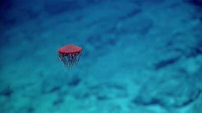 This red jellyfish looks like a spaceship